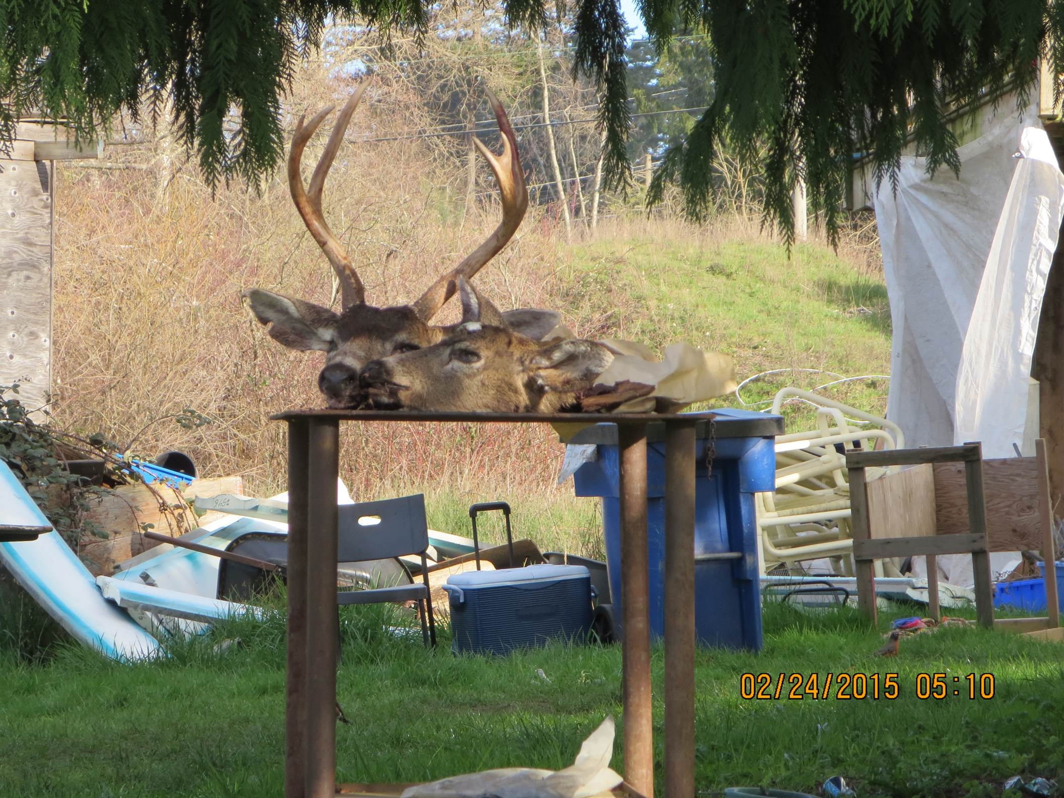 Is This The Oak Bay Deer Cull?